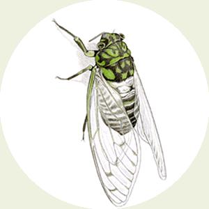 ミンミンゼミの画像 p1_36